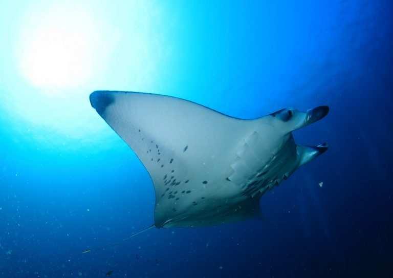 Какой океан омывает Мальдивы Manta Credit F. Gansl